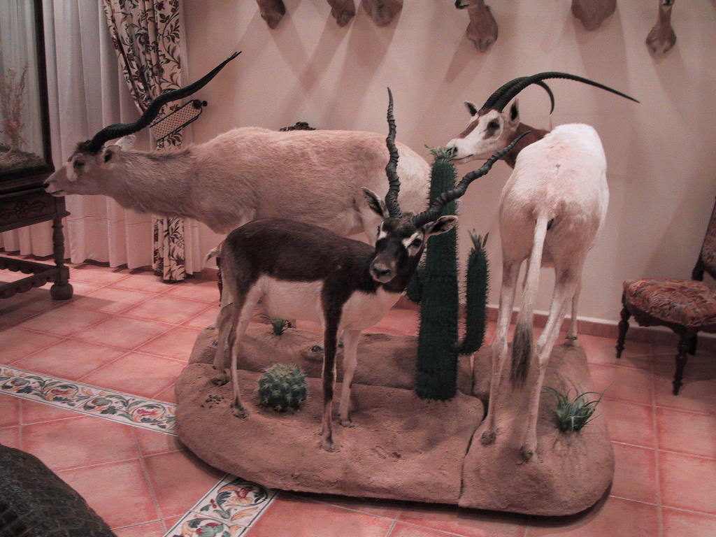 taxidermiaCONJUNTODEANTILOPES